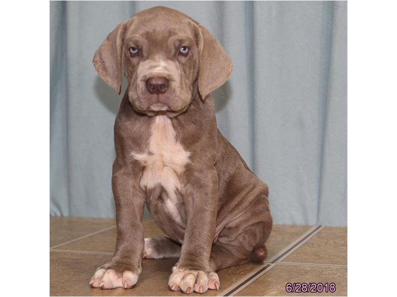 Neapolitan Mastiff-Male-Blue-2120073-Petland Pickerington