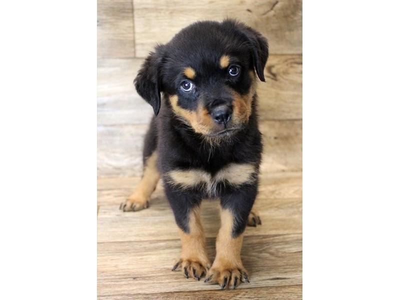 Rottweiler-Female-Black / Mahogany-2796000-Petland Pickerington