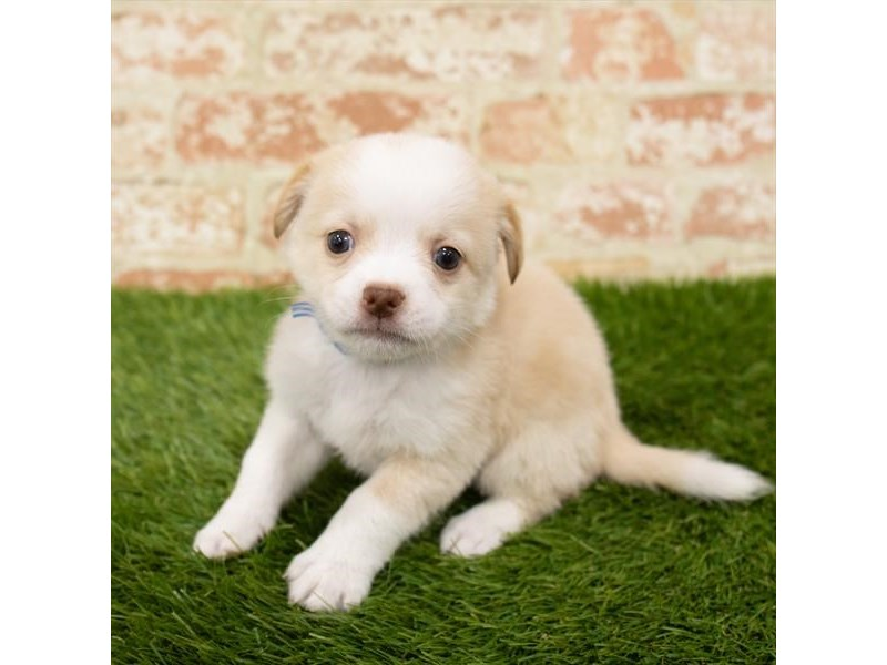 Chihuahua-Male-Cream-2798159-Petland Pickerington