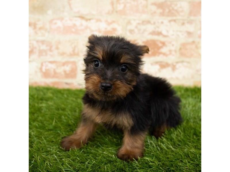 Silky Terrier-Male-Black / Tan-2798161-Petland Pickerington