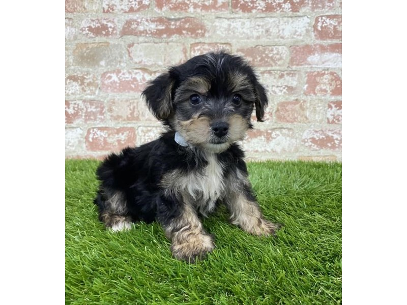Yorkiepoo-Male-Black / Tan-2805126-Petland Pickerington
