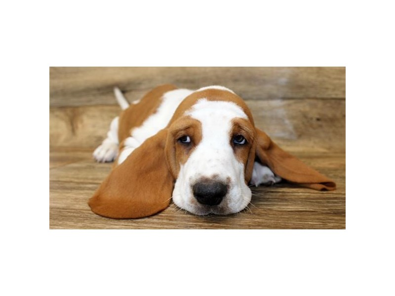 Basset Hound-Female-Lemon / White-2818517-Petland Pickerington