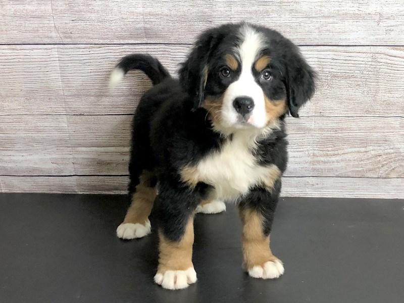 Bernese Mountain Dog-Male-BlackTri-2820646-Petland Pickerington