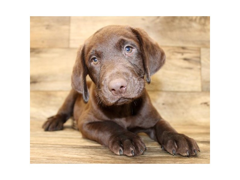 Labrador Retriever-Male-Chocolate-2826416-Petland Pickerington