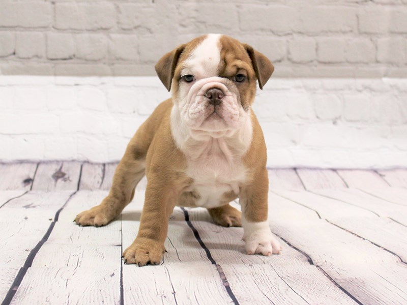 English Bulldog-Male-Tan and White-2827702-Petland Pickerington