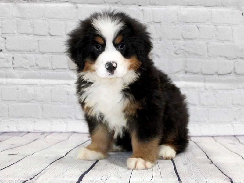 Bernese Mountain Dog-Male-Black Tri-2827690-Petland Pickerington