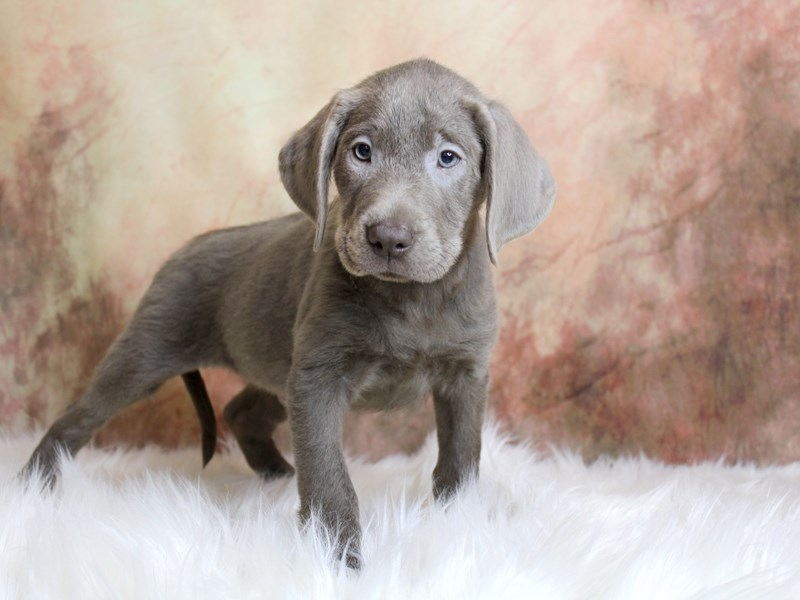 Labrador Retriever-Male-Silver-2850441-Petland Pickerington
