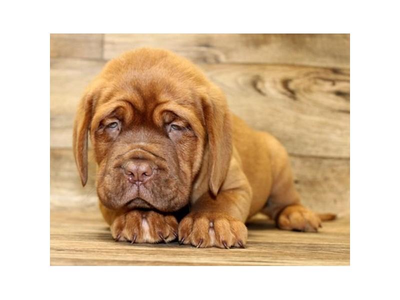 Dogue De Bordeaux-Male-Red-2840884-Petland Pickerington