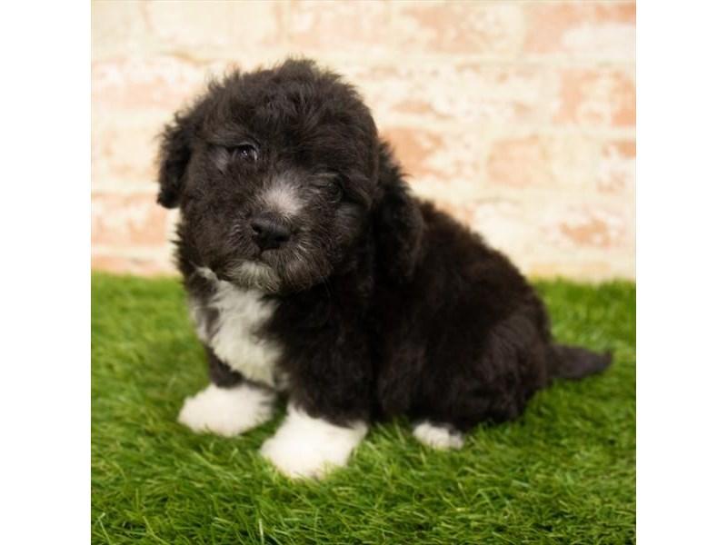 Poodle-Male-Black-2841082-Petland Pickerington