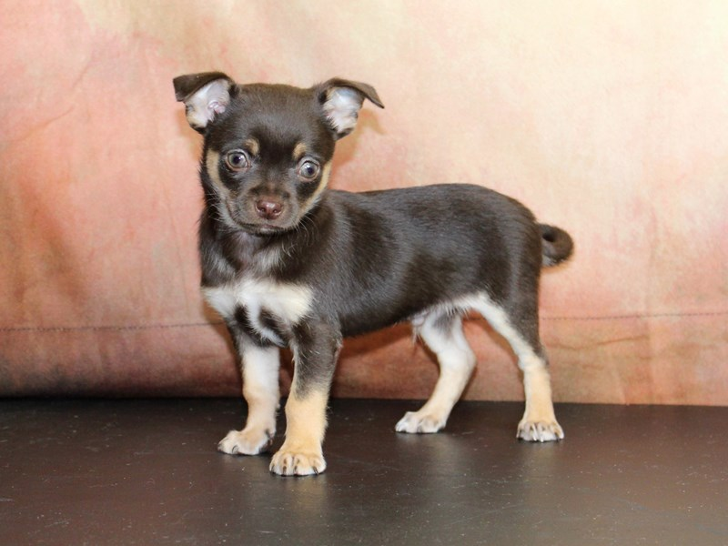 Chihuahua-Male-Chocolate and tan-2844354-Petland Pickerington