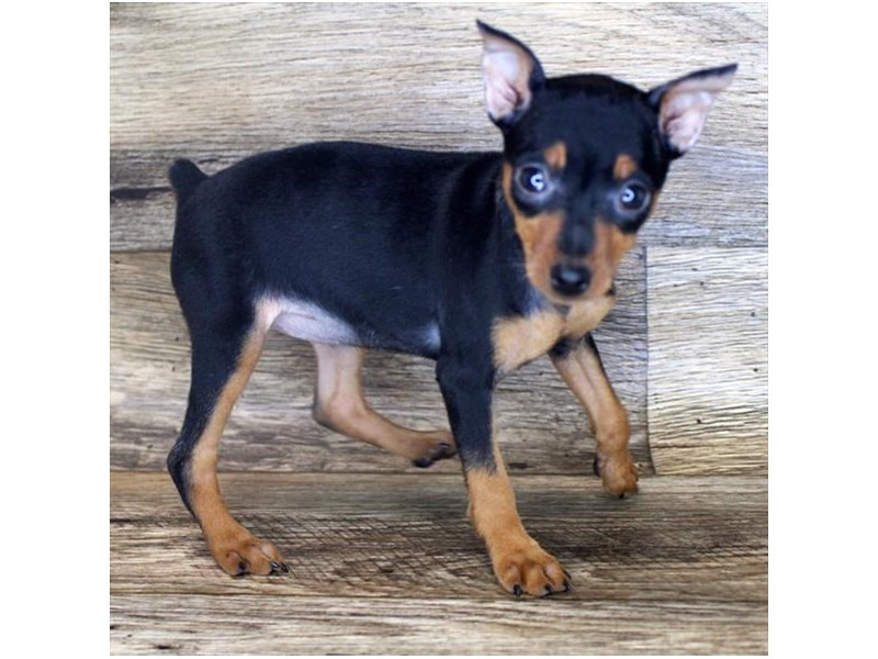 Miniature Pinscher-Female-Black / Rust-2856435-Petland Pickerington