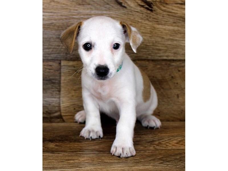 Jack Russell Terrier-Male-White-2856515-Petland Pickerington