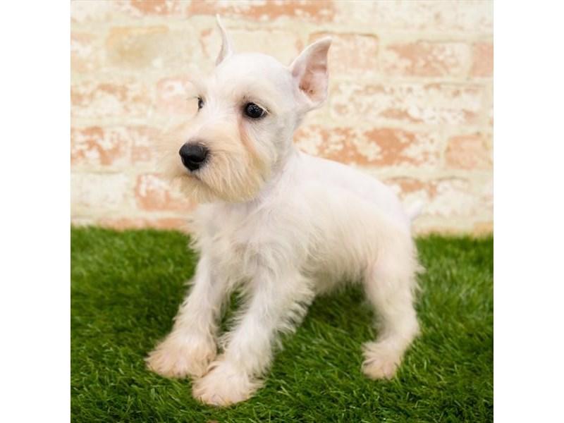 Miniature Schnauzer-Male-White-2856836-Petland Pickerington