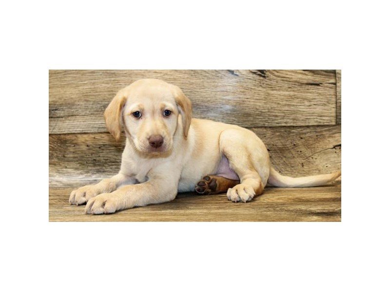 Labrador Retriever-Female-Yellow-2876870-Petland Pickerington