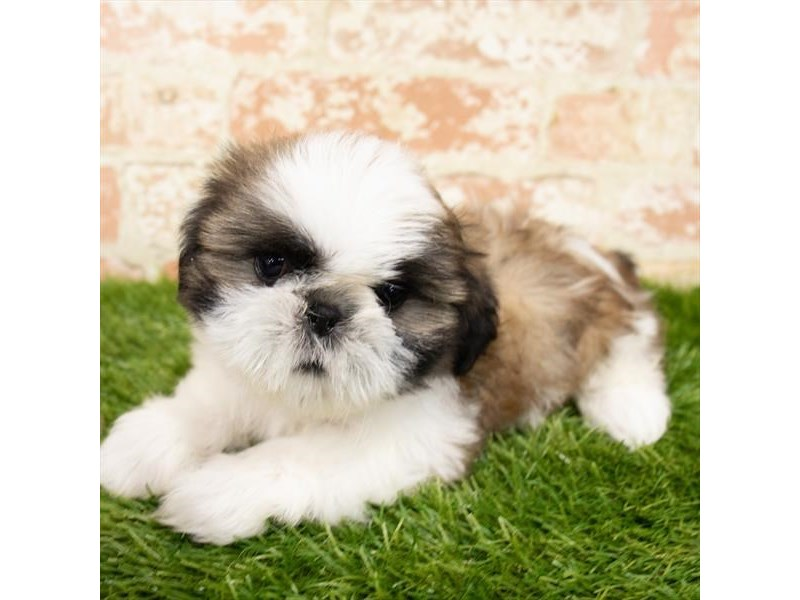 Shih Tzu-Male-Gold / White-2856024-Petland Pickerington
