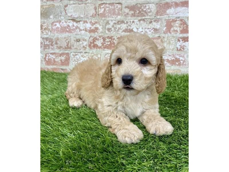 Poodle-Male-Apricot-2879456-Petland Pickerington