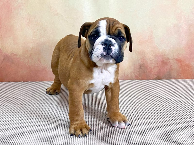 English Bulldog-Female-Red-2870756-Petland Pickerington