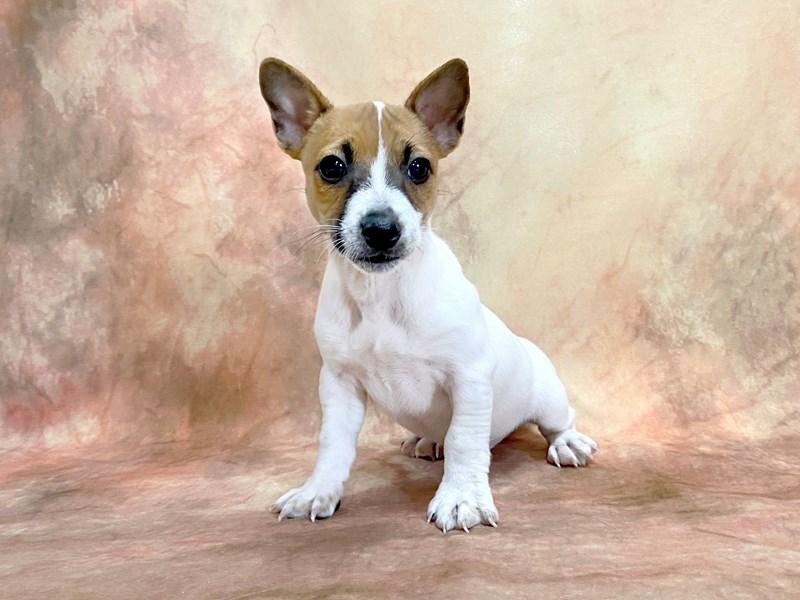 Jack Russell Terrier-Male-White-2876872-Petland Pickerington