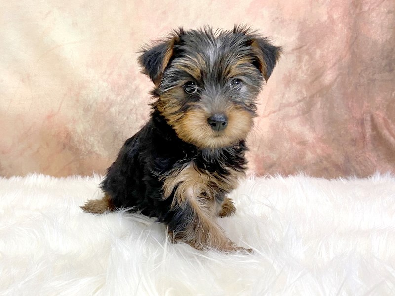 Yorkshire Terrier-Female-Black / Tan-2876874-Petland Pickerington
