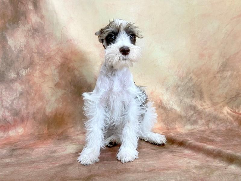 Miniature Schnauzer-Female-LIVER WHITE-2868627-Petland Pickerington
