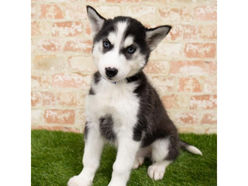 Siberian Husky-Male-Black / White-2891285-Petland Pickerington