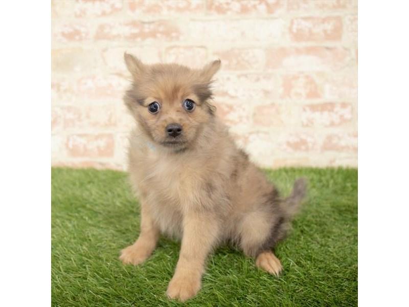 Pomeranian-Female-Red Merle-2897669-Petland Pickerington