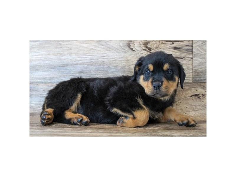 Rottweiler-Female-Black / Rust-2904404-Petland Pickerington