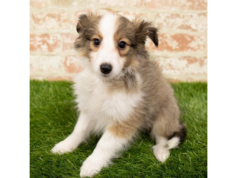 Shetland Sheepdog-Female-Sable / White-2904409-Petland Pickerington
