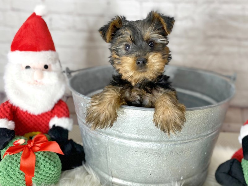 Silky Terrier-Male-Black / Tan-2911681-Petland Pickerington