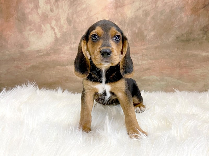 Beagle-Male-Black / Tan-2884181-Petland Pickerington