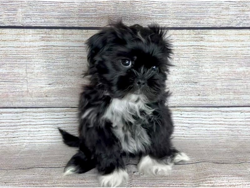 Shih Tzu-Male-Black / White-2897668-Petland Pickerington