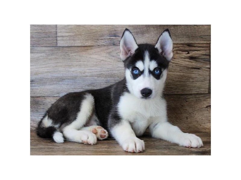 Siberian Husky-Male-Black / White-2904406-Petland Pickerington