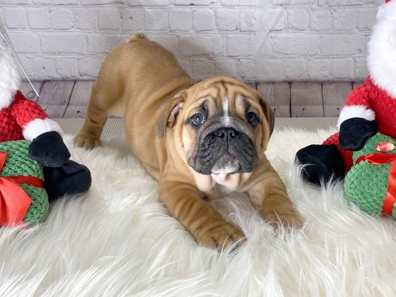 English Bulldog-Male-Red-2911676-Petland Pickerington