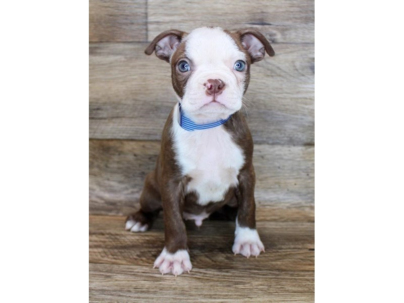 Boston Terrier-Male-Seal / White-2919735-Petland Pickerington