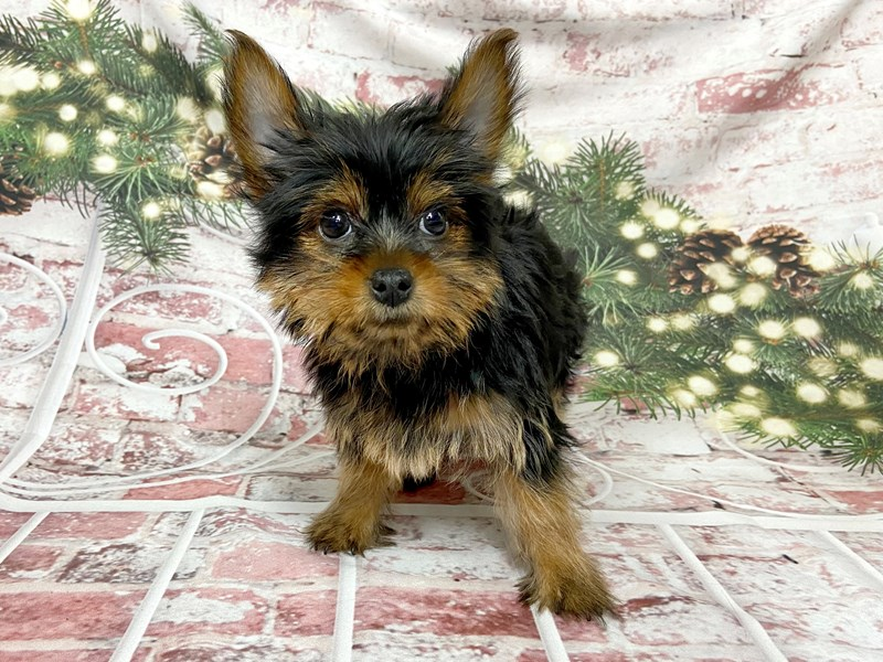 Yorkshire Terrier-Male-Black / Tan-2919733-Petland Pickerington