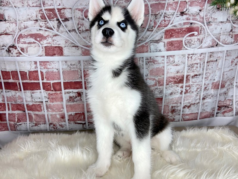 Siberian Husky-Male-Black / White-2912420-Petland Pickerington