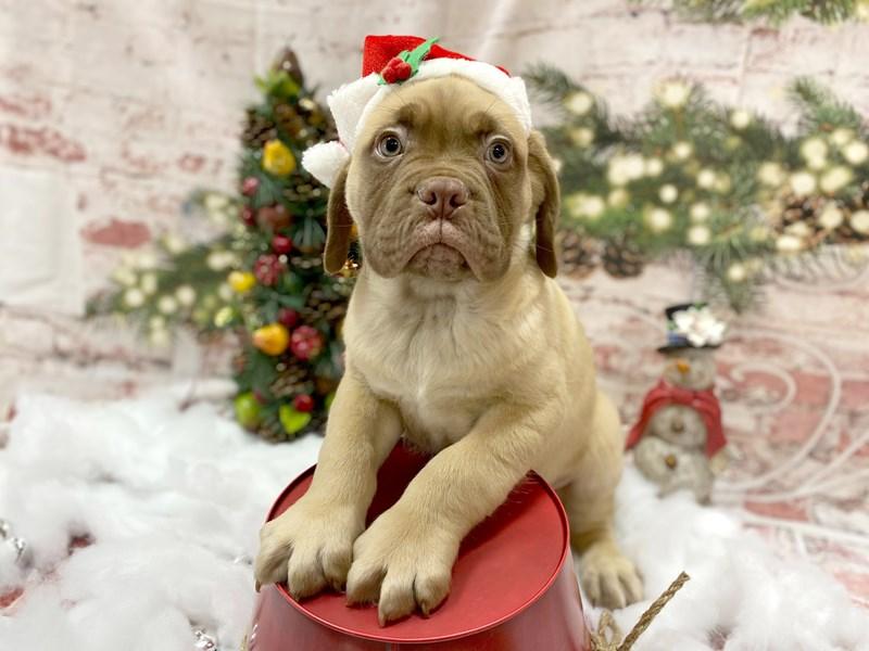 Dogue De Bordeaux-Male-Red-2926657-Petland Pickerington