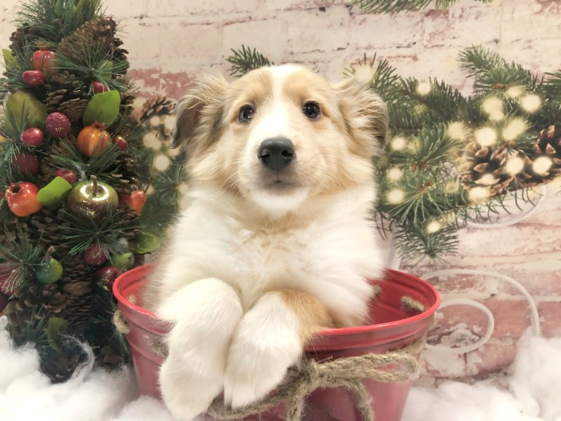 Shetland Sheepdog-Male-Sable / White-2934345-Petland Pickerington