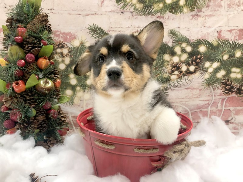 Pembroke Welsh Corgi-Male-Black Tan / White-2934277-Petland Pickerington