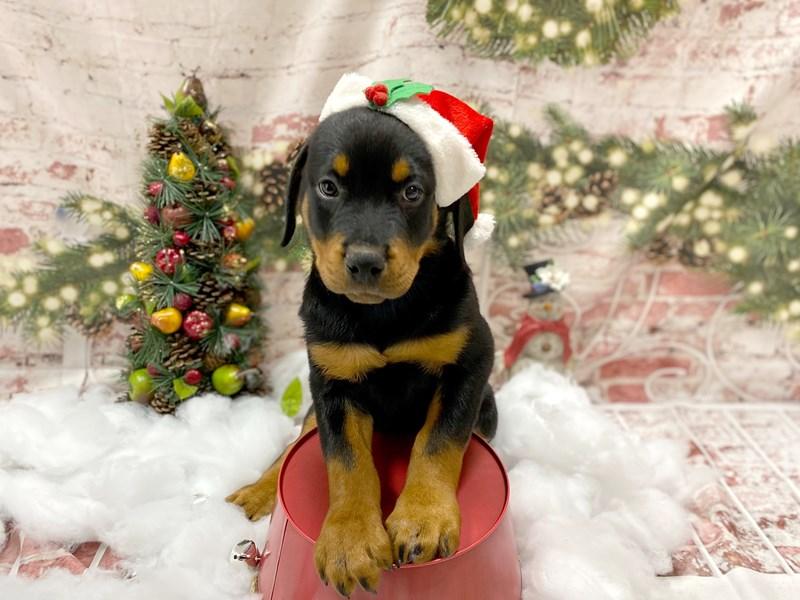 Rottweiler-Male-Black and Tan-2927033-Petland Pickerington