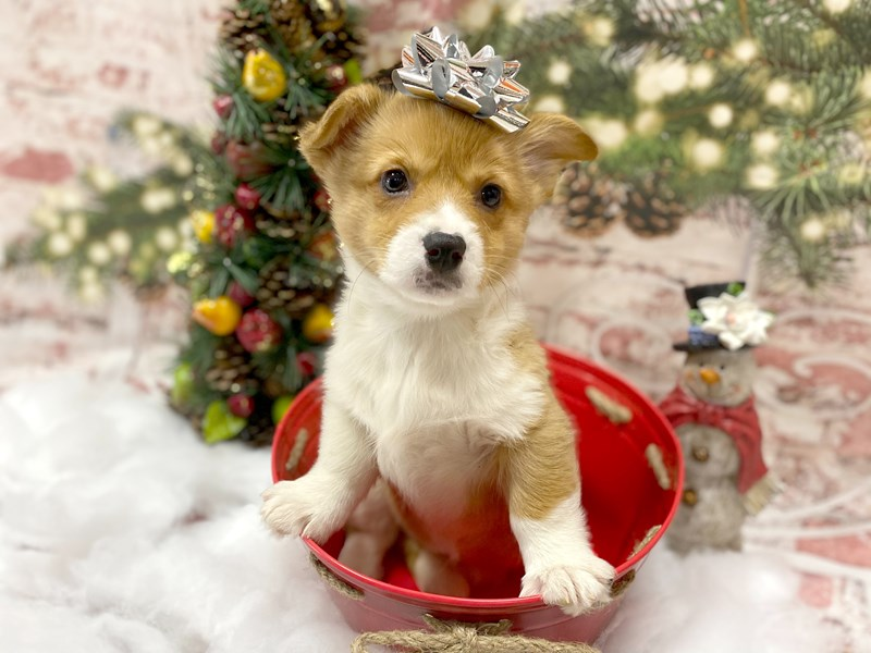 Pembroke Welsh Corgi-Female--2926659-Petland Pickerington