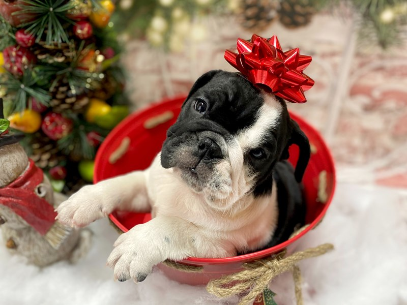 English Bulldog-Female-Black / White-2926662-Petland Pickerington