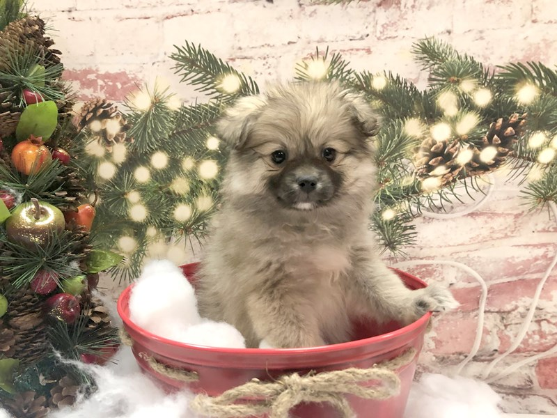 Pomeranian-Female-Cream Sable-2934347-Petland Pickerington