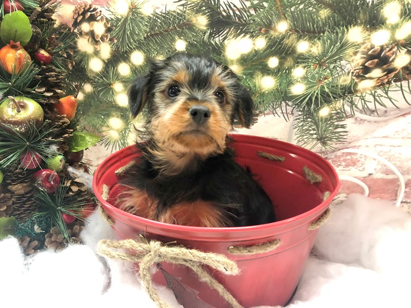 Yorkshire Terrier-Male-Black / Tan-2934273-Petland Pickerington