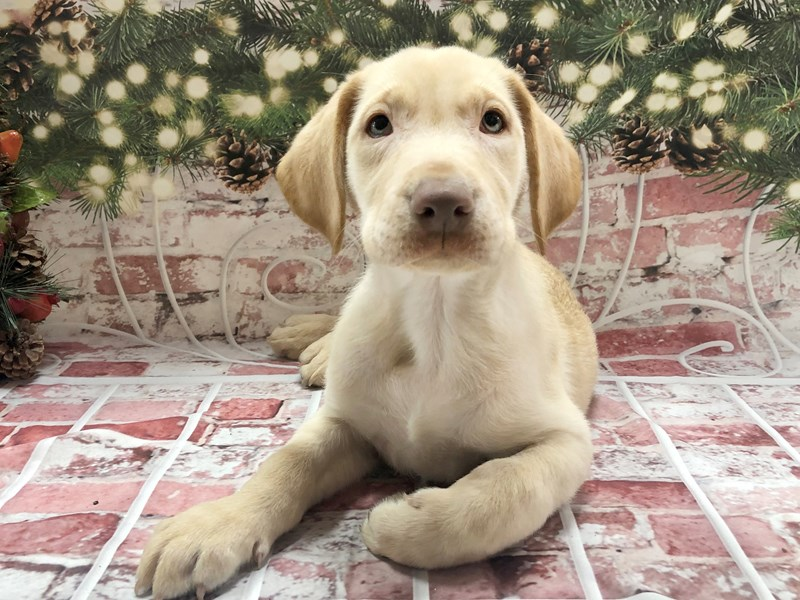 Labrador Retriever-Male-Yellow-2934276-Petland Pickerington