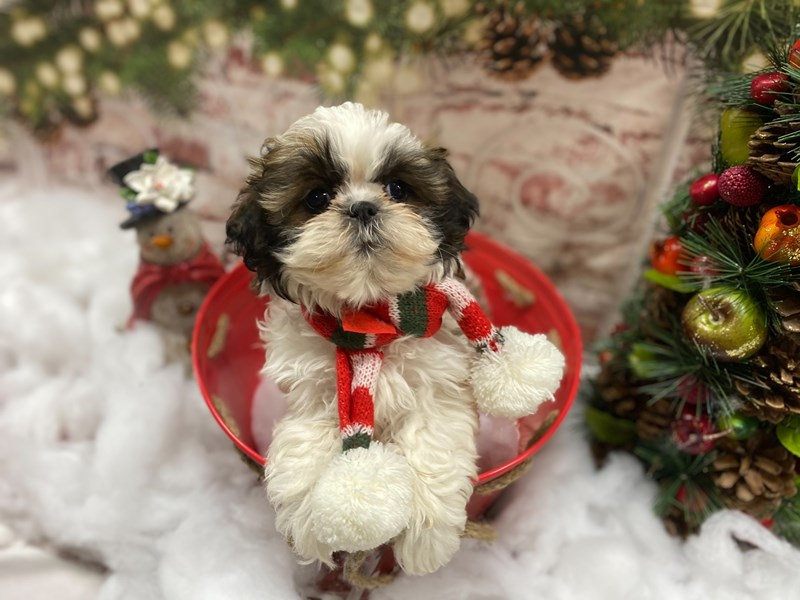 Shih Tzu-Female-Red / White-2942874-Petland Pickerington
