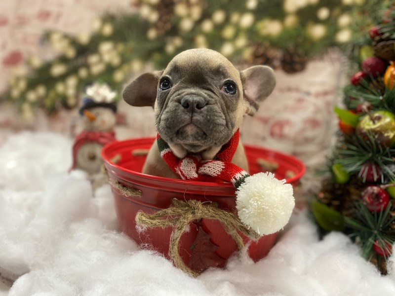 French Bulldog-Male-Blue Fawn-2942880-Petland Pickerington