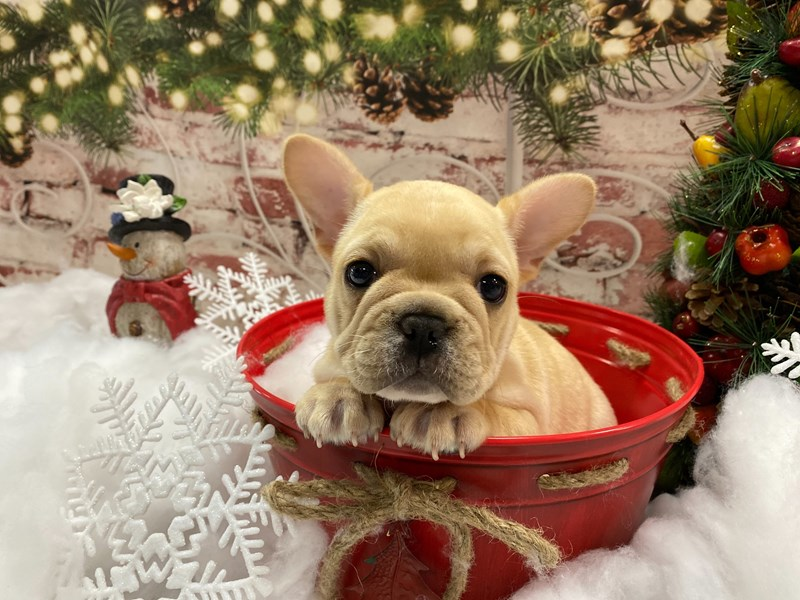 French Bulldog-Female-Cream and White-2949378-Petland Pickerington
