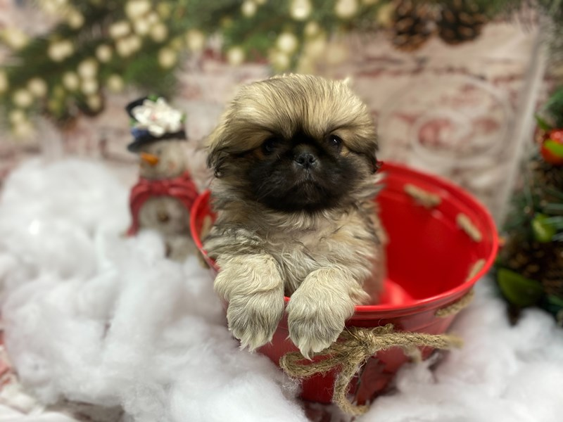 Pekingese-Male-Sable-2943142-Petland Pickerington