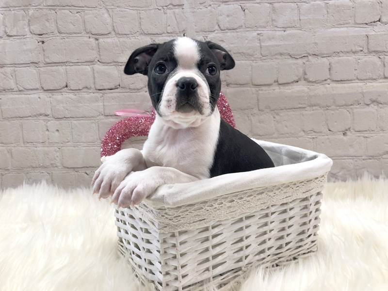 Boston Terrier-Male-Black and white-2971973-Petland Pickerington